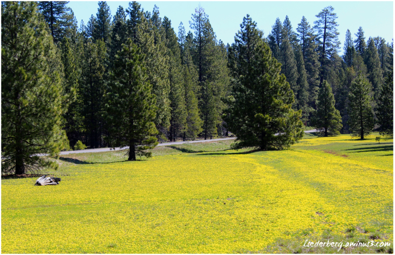 Meadow of yellow