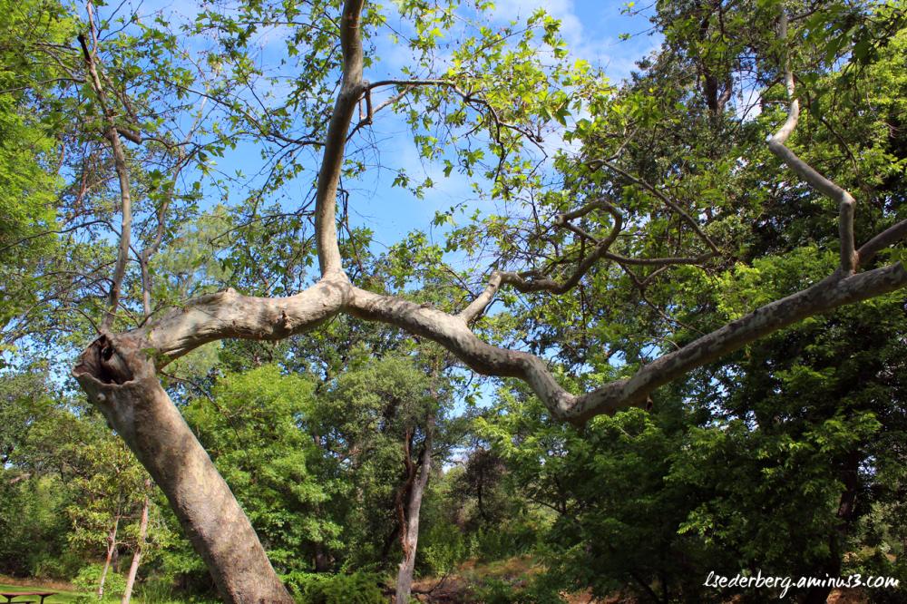 Trees at Bidwell Park