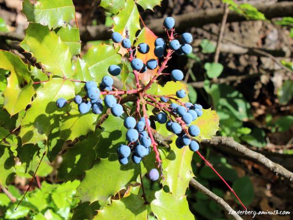 Chico berries