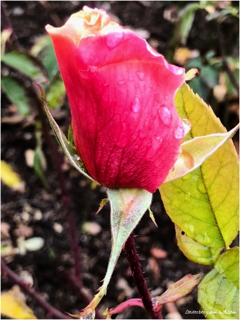 Rainy day rose