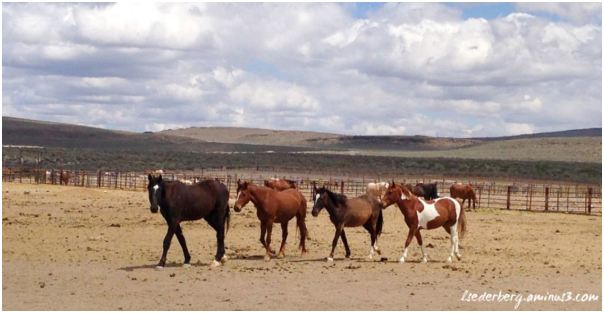 Wild mustangs of northern CA