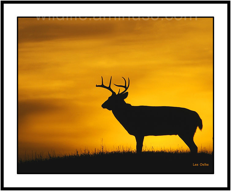 Sunrise, buck,