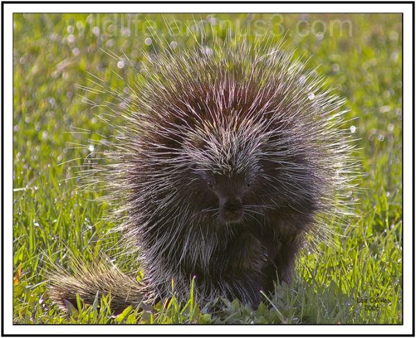 Porcupine posing