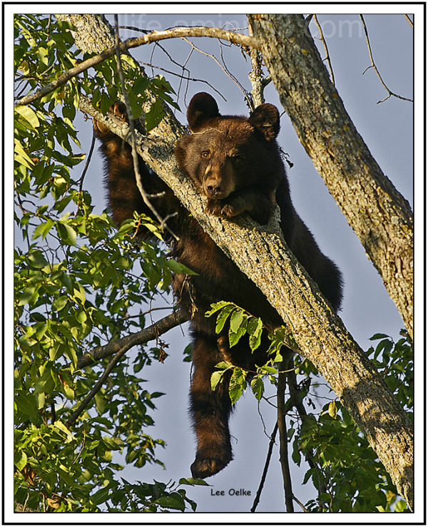 Black bear cub, wildlife nature.