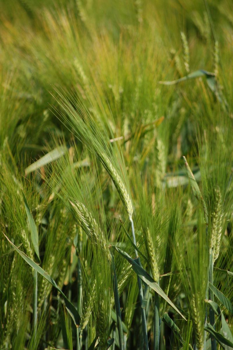 A green durhum field in SK