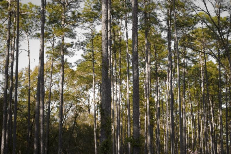 Pine forest, Devil's Millhopper
