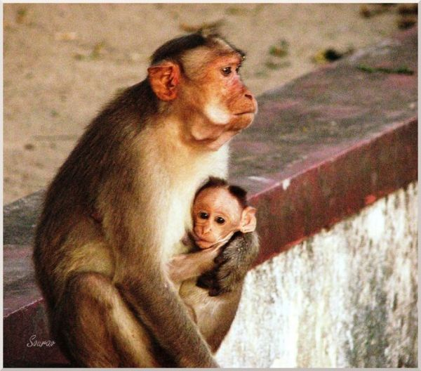 Monkey Feeding Her Child