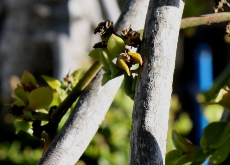 Preying mantis plant