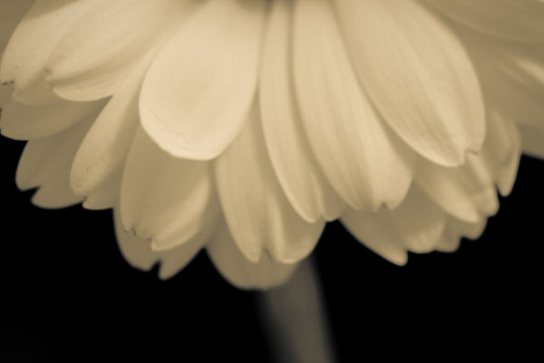 Flower - Monochrome