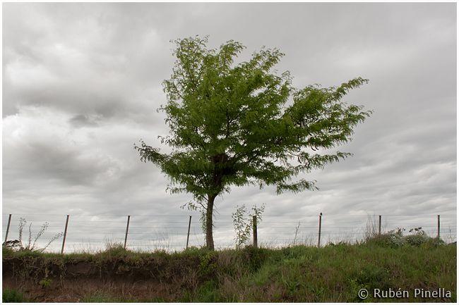 Árbol solo un día nublado