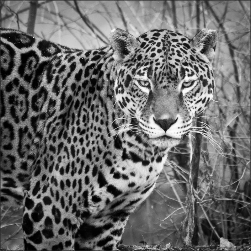 Leopard at St Louis Zoo