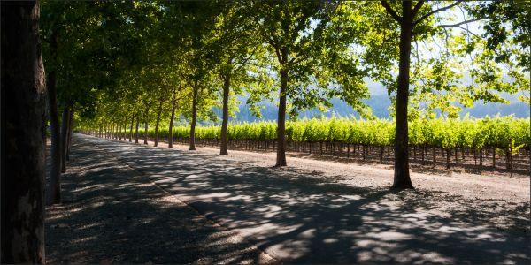 Vineyard, green, trees