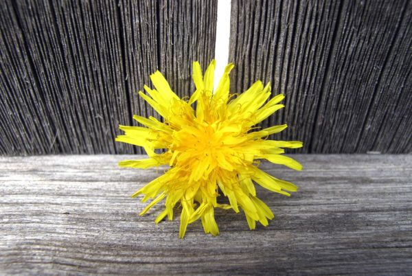 Yellow Dandylion