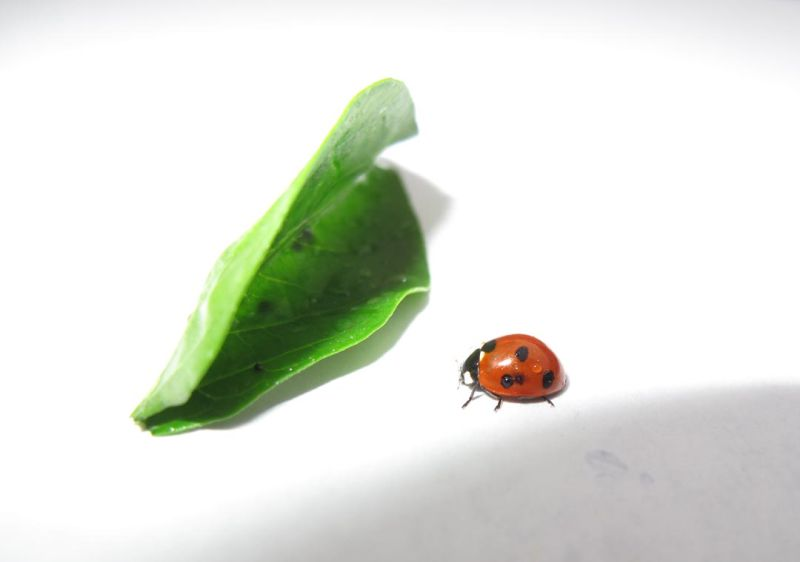 Posing ladybug