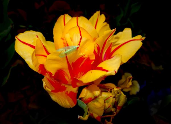 Tulip and Mayfly