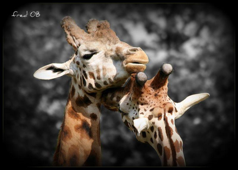 câlin de girafe