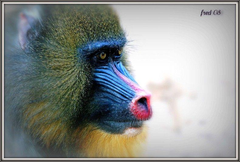 mandrill mâle pensif