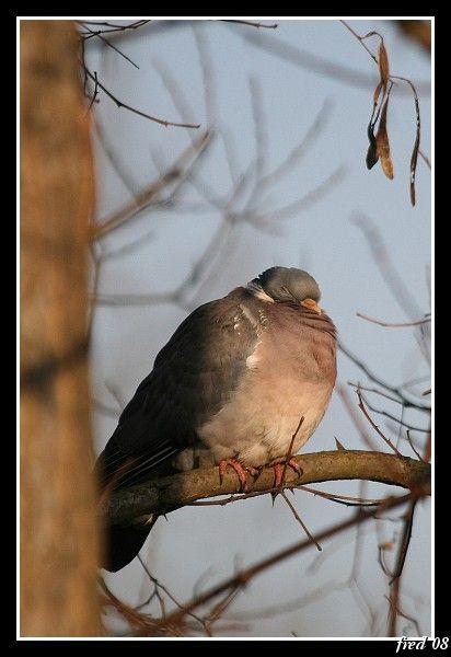 pigeon ramier sommeillant