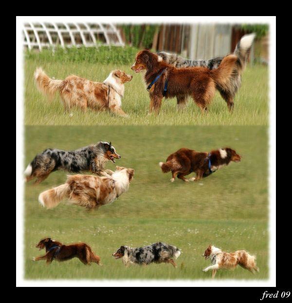 jeux canins entre trois bergers australiens
