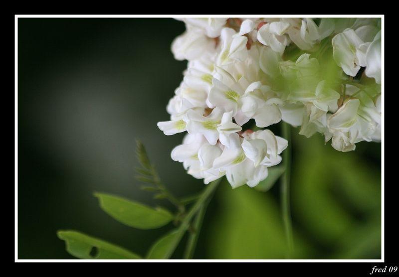 fleurs de robinier faux accacia