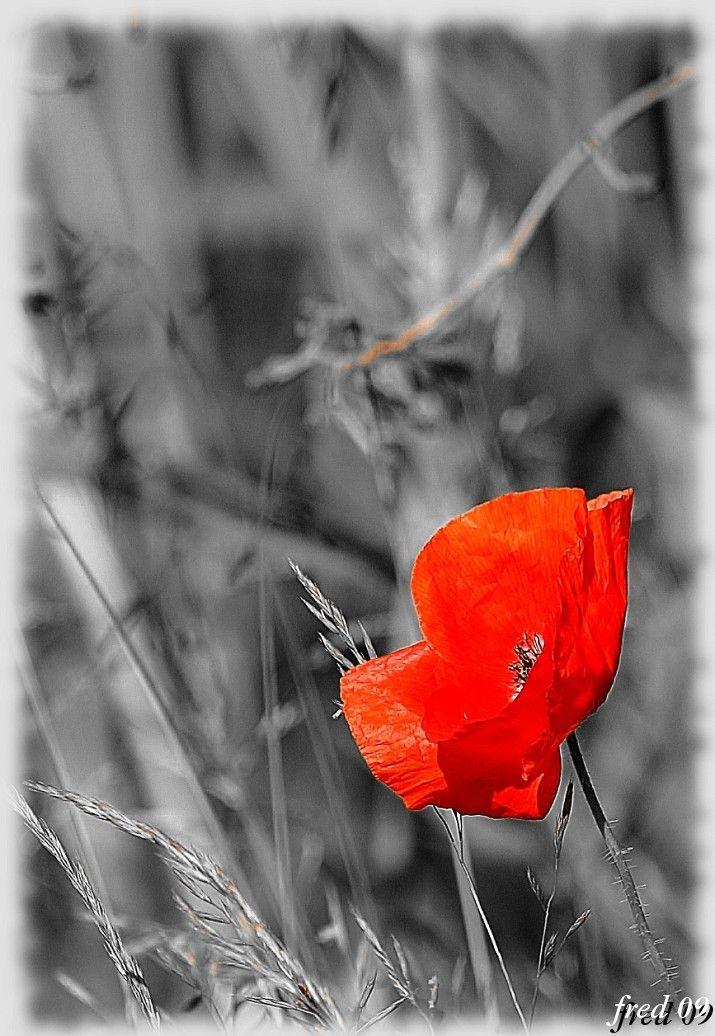 red rouge coquelicot plant végétaux