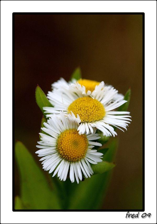Fleurs d'Erigeron annuus