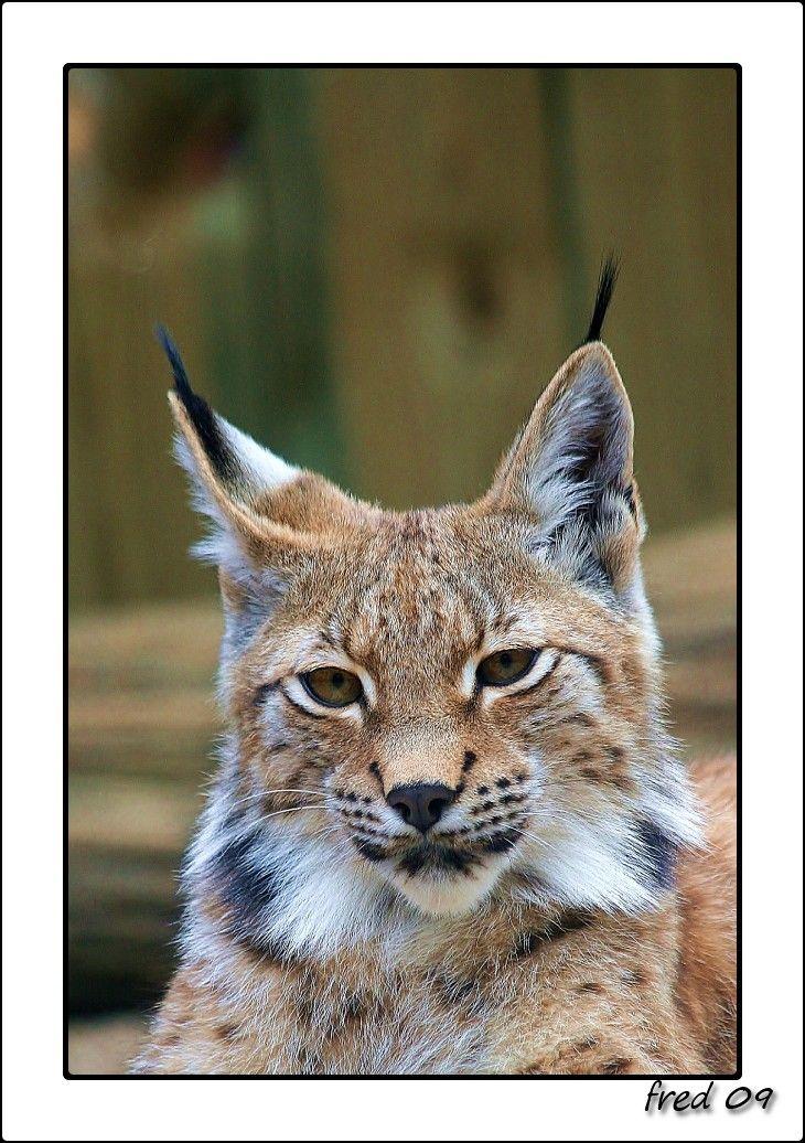 Lynx d'Europe au Zoo d'Amnéville