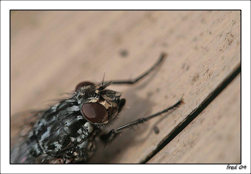 les yeux de la mouche