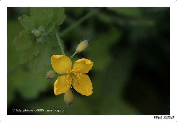chélidoine, herbe aux hirondelles .........