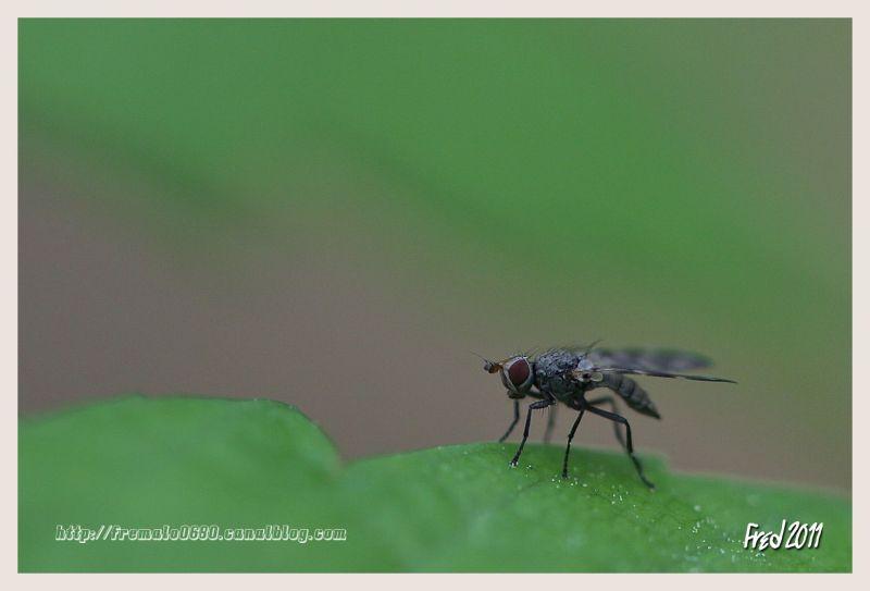 Tephritidae 1