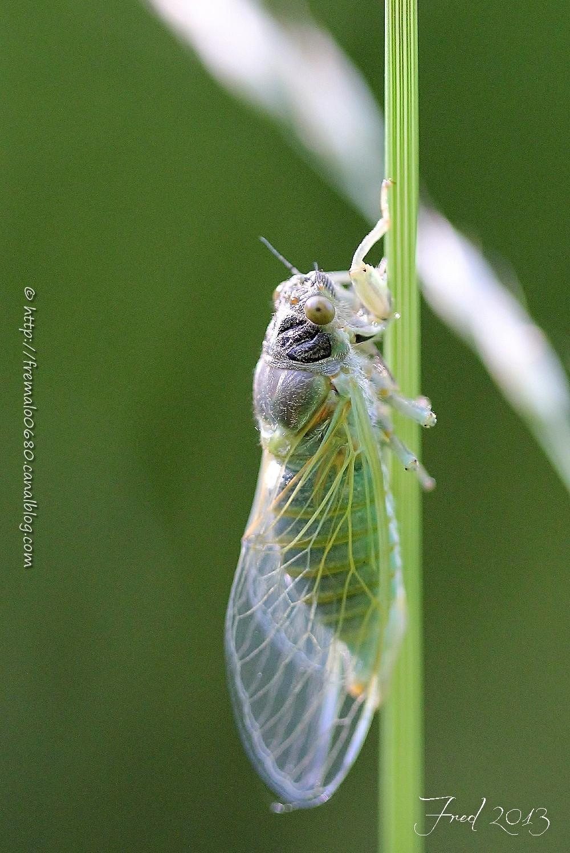 Cicada of Lorraine