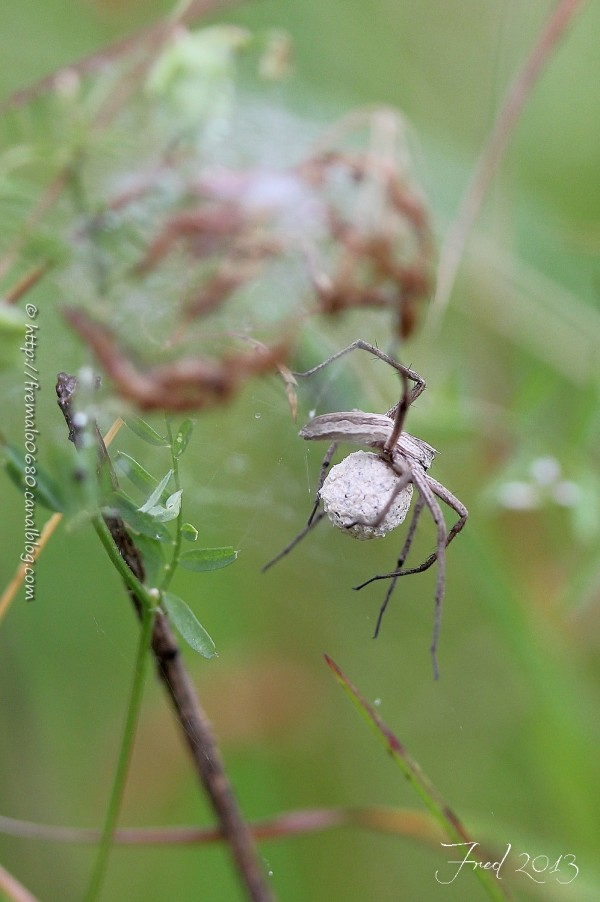 spider, Pisaura mirabilis, cocon, araignée,