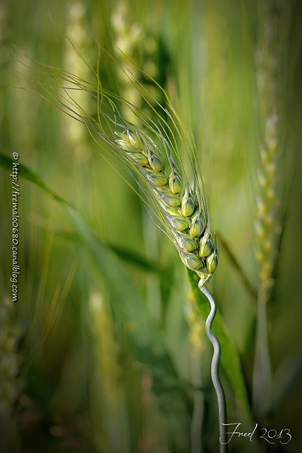 orge, champ, céréale, graphisme, barley