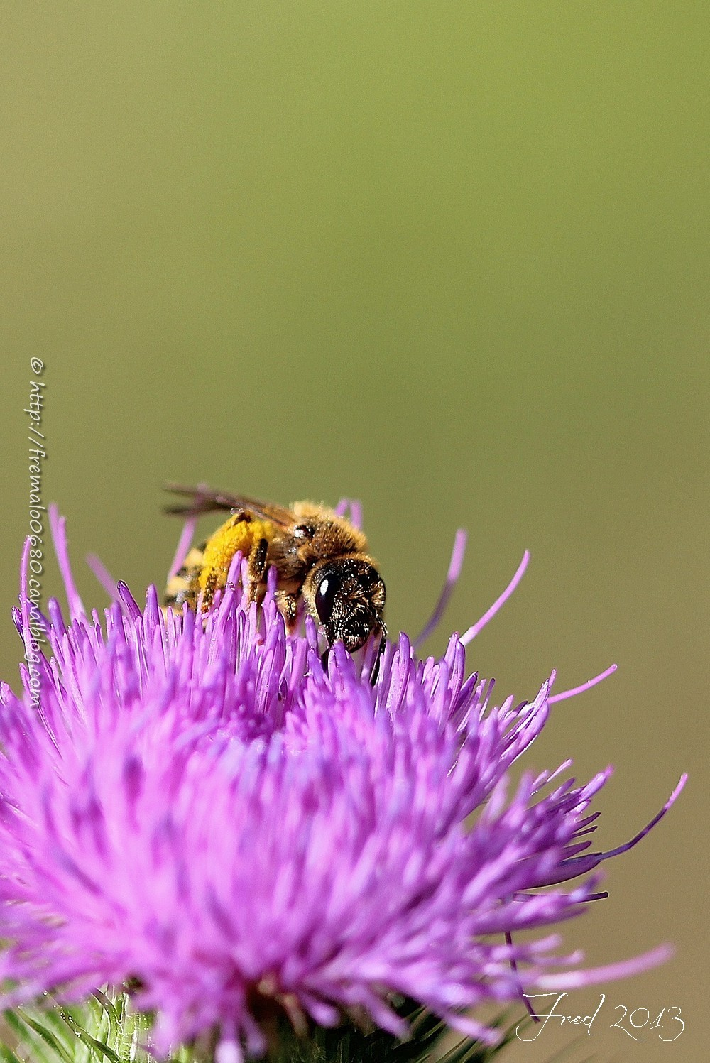 bee, abeille, Halictus scabiosae, hyménoptère