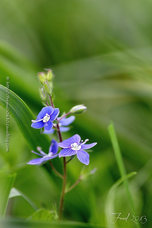 fleur, végétaux, véronique, Veronica sp,