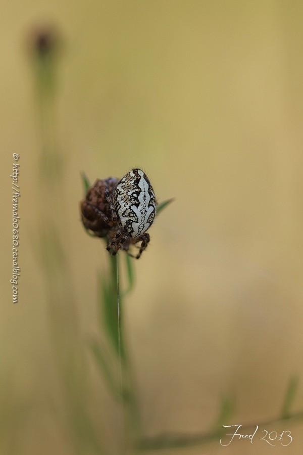 Oak spider 1