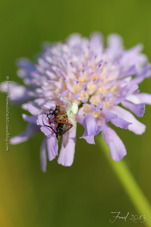 spider, araignée, Misumena vatia, Empis, diptère