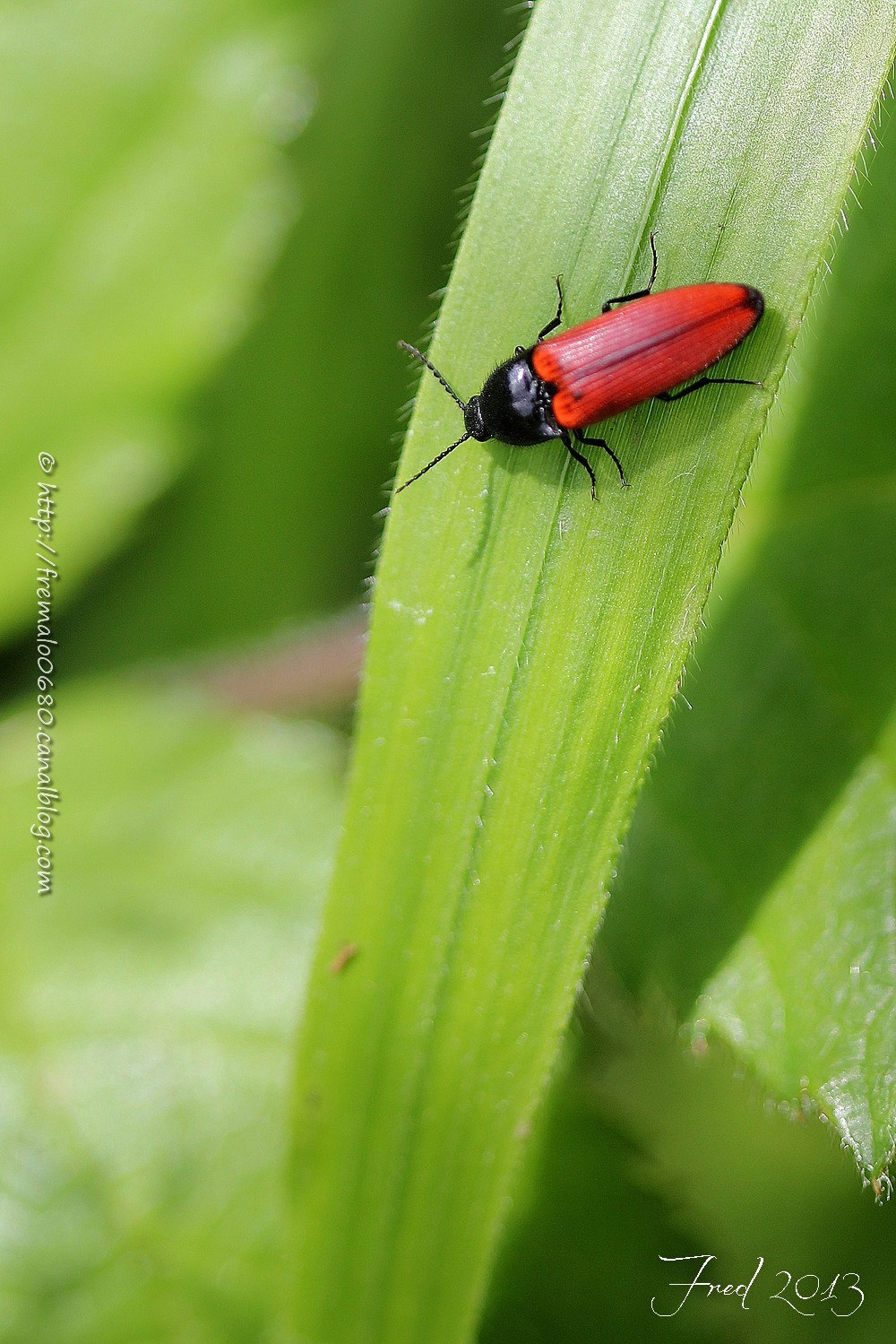 taupin, click beetle, Ampedus, insecte