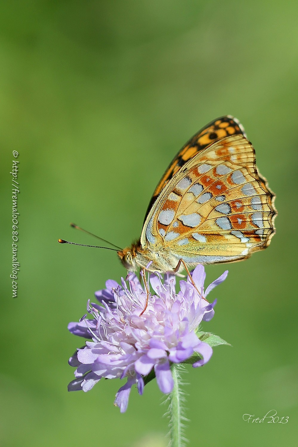 papillon, insecte, Argynnis adippe, nymphalidae