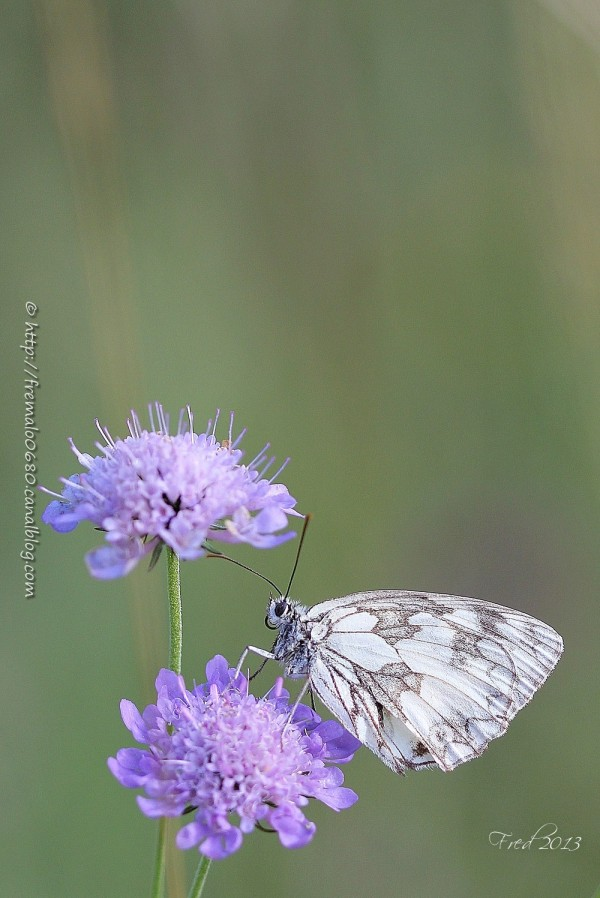 demi-deuil, papillon, butterfly, Melanargia galath