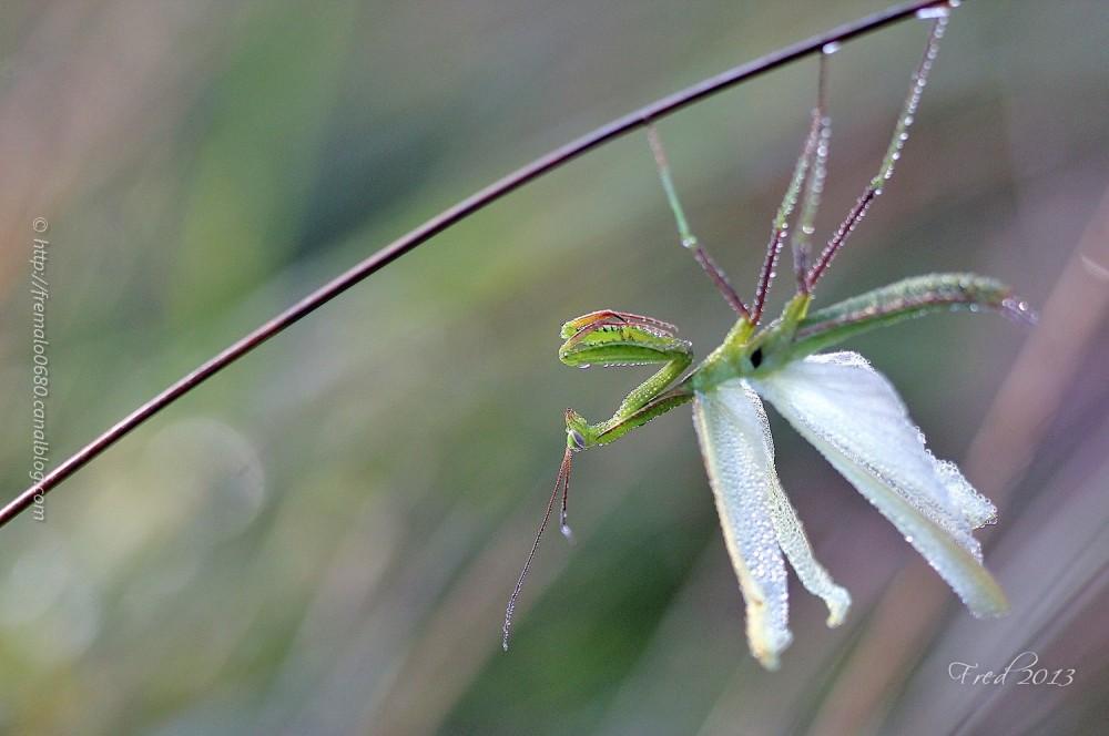 Mantis religiosa insecte dew rosée