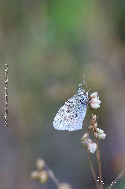 fadet insecte papillon lépidoptère butterfly