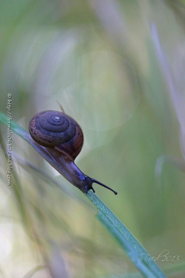 escargot snail gastéropodes