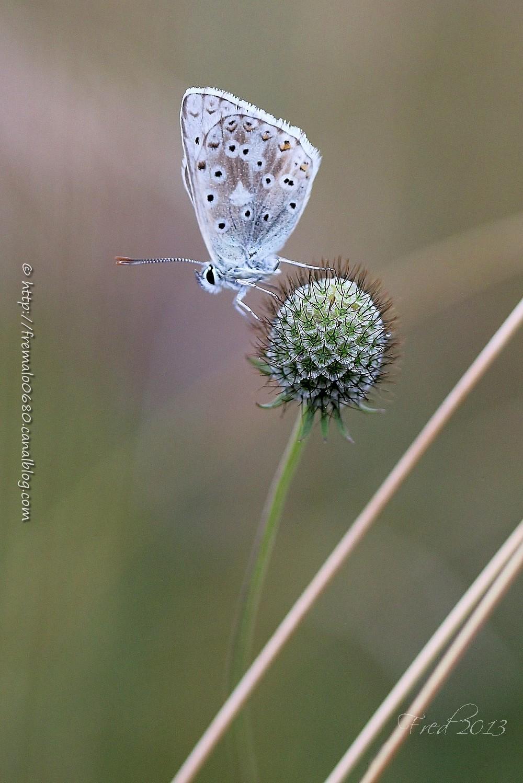 Plebejus papillon butterfly lépidoptère