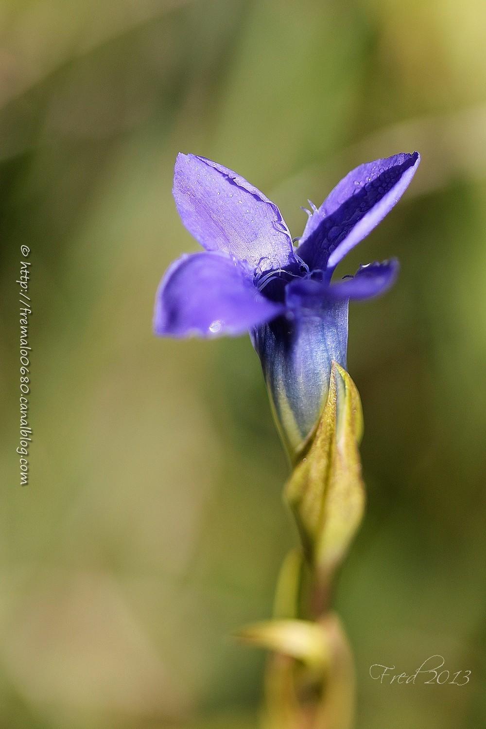 Gentiane ciliée, Gentianella ciliata, fleur, végét