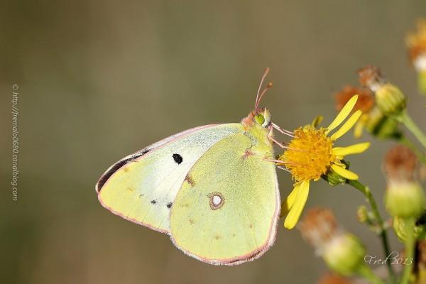 souci Colias croceus papillon butterfly