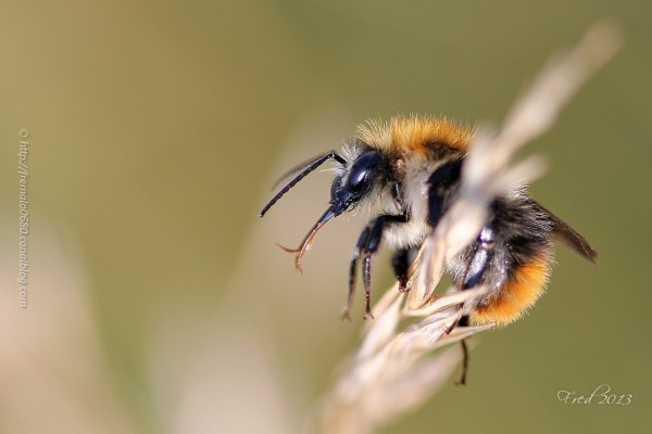 hyménoptère insecte bourdon bumblebee