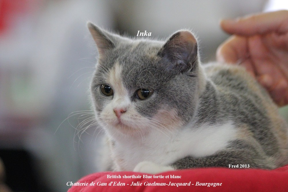 british shorthair chat cat race breed félin