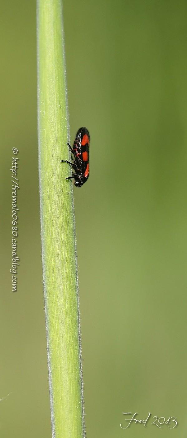 insecte cercope Cercopis hémiptère