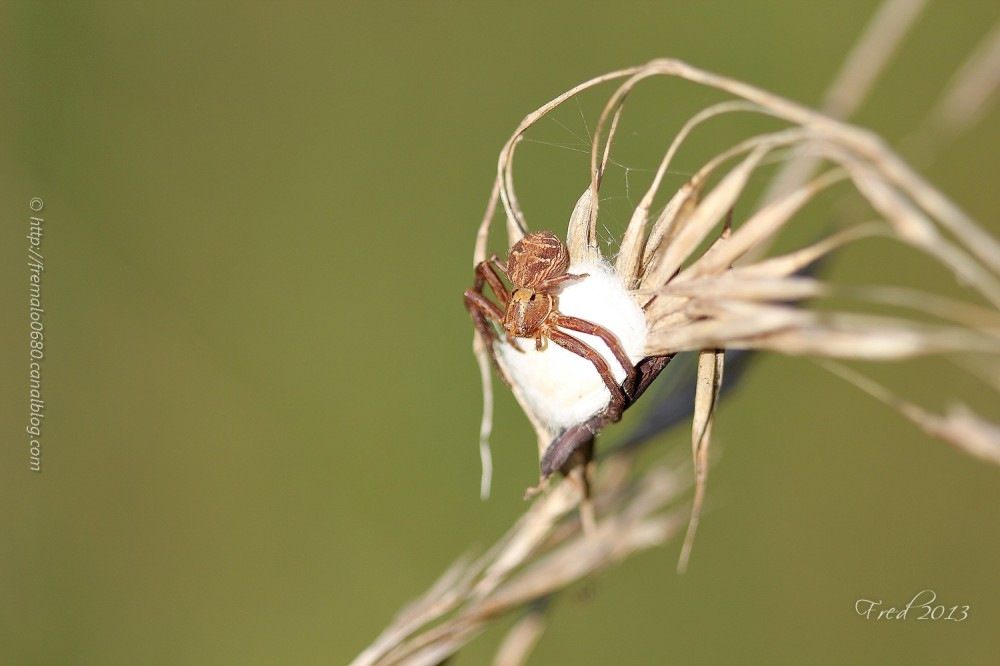Xysticus cristatus spider araignée arachnide